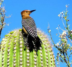 I photographed this gila woodpecter on a nearby saguaro. -- Photo by Pat Bean