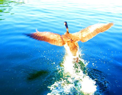I've taken many a goose photo, but this one taking off ahead of a boat I was in on Lake Pend Oreille in Idaho.  -- Photo by Pat Bean