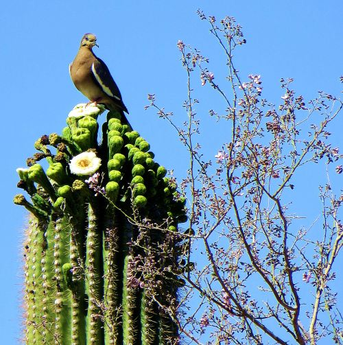 This saguaro, which sits in the front yard of my daughter's home, is only about 20 feet tall. That was tall enough, however, for this white-winged dove to feel safe while I took its photo. -- Photo by Pat Bean