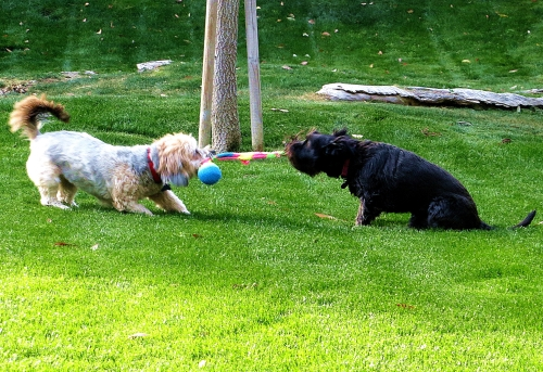 A friendly game of tug of war between Dusty, left, and Pepper. -- Photo by Pat Bean
