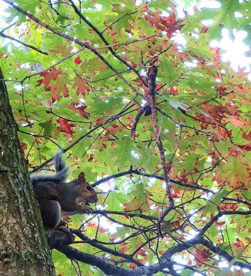 When I hear a squirrel chattering away in a tree, my first thought is what bird is that. But then the little gray cells chime in, informing me that it's a sassy squirrel. -- Photo by Pat Bean