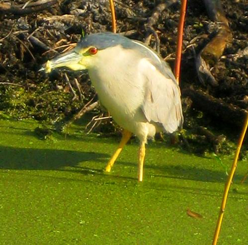 What bird is this. Thankfully, a question I can answer. It's a black-crowned night heron. -- Photo by Pat Bean