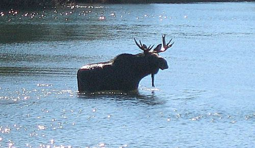 I suspect even a big old moose could feel sorry for itself if another male won its girl from him. -- Photo by Pat Bean
