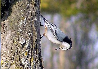A white=breasted nuthatch defying gravity. -- Wikimedia photo