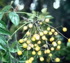 These berries from a chinaberry tree were often the ammunition for neighborhood kid skirmishes when the fireflies came out at night. I would hide behind something and throw out a handful when an unsuspecting victim passed by, usually the pesky boy next door, .