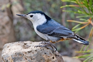 I wonder what nuthatches think about hen they are watching people? Don't you.  -- Wikimedia photo