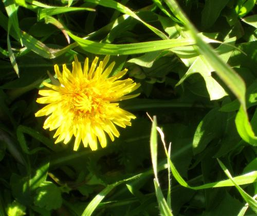 I think a dandelion blooming on a manicured lawn is perfect. -- Photo by Pat Bean