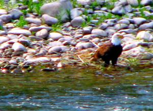 An eagle on shore spotted during one of my annual floats down the Snake River below Jackson Wyoming. -- Photo by Pat Bean