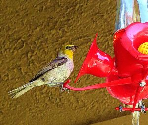 Verdins feed more at my nectar feeder than hummingbirds. I love watching them. -- Photo by Pat Bean