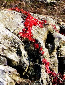 Virginia creeper alongside the parkway. I do so love the color red -- Photo by Pat Bean