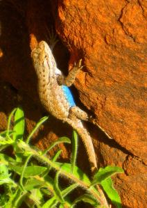... and lizards are addicted to rocks. -- Photo by Pat Bean