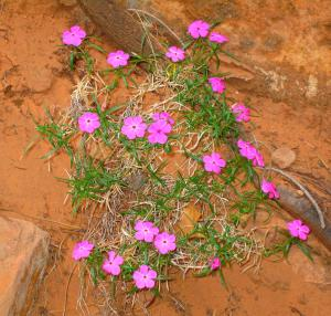 May you keep your eyes open, and be appreciative to the little things like desert phlox, that  help make this planet so beautiful. That's my resolution for my readers in 2015. -- Photo by Pat Bean