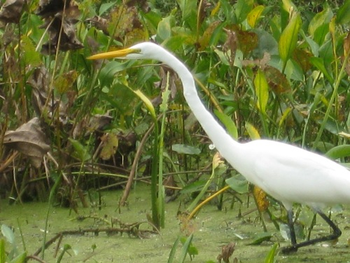 One of the highlights of my trip to Brazoria County on the Texas Gulf Coast,  where I lived for 15 years, is an opportunity to go birding with my son, Lewis. He is as avid a birder as I am. We always see great egrets on our outings. -- Photo by Pat Bean