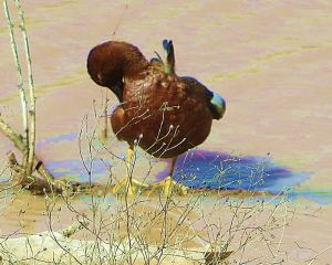 I watched this awesome cinnamon teal groom itself for a good 10 minutes. -- Photo by Pat Bean