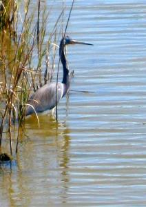 A tri-colored heron, once known as a Louisiana heron, spotted on the Blue Water Highway between Surfside and Galveston, Texas. -- Photo by Pat Bean