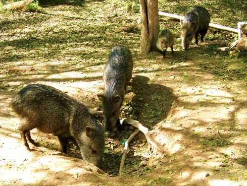 While I didn't get a photograph of the two javelina visitors this morning. I did get photos of some when I visited Bentsen State Park in Texas a few years ago.  -- Photo by Pat Bean
