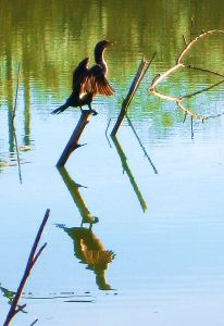 While I wasn't really surprised to see the javelinas, coming around the corner and seeing this cormorant and its reflection in a pond was a bit surprising. -- Photo by Pat Bean