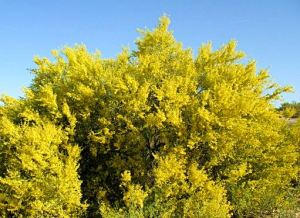 Palo verdes, the state tree of Arizona, heavily dot the Catalina Foothills where I live. I love the color.