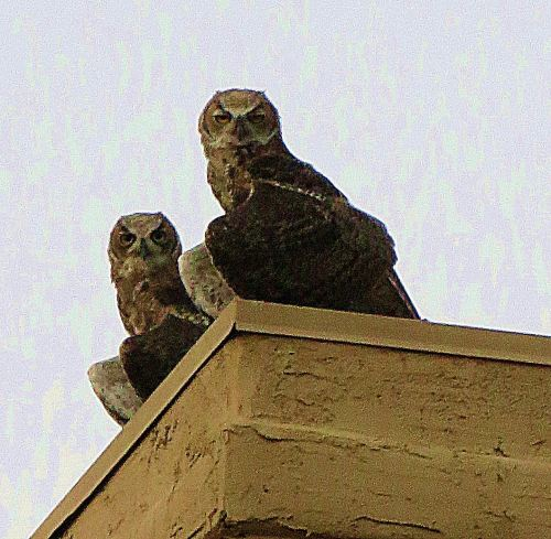 Two of the three great horned owl juveniles now making themselves at home in my apartment complex that sits in the shadow of the Catalina Mountains -- Photo by Pat Bean