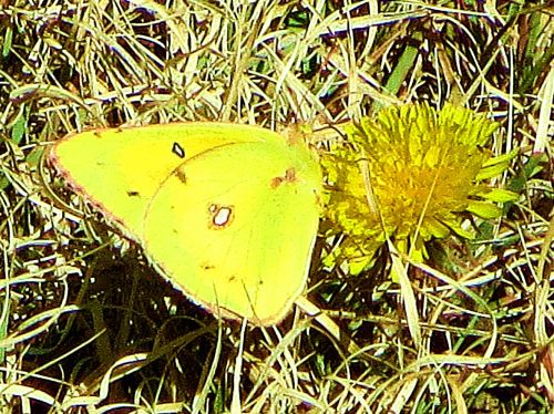 The name of this butterfly is  orange sulfur alfalfa, and while I know that the flower (I don't like to think of them as weeds), I have no idea which of the 150 varieties of dandelions this is. Do you? -- Photo by Pat Bean