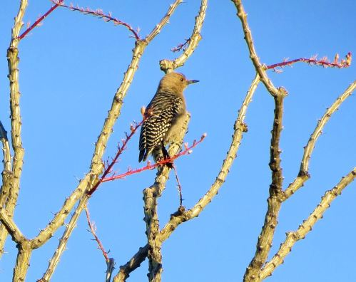 It's hot in Tucson right now, so I have been doing more inside reading than outside birdwatching, which I love to do as much as I love writing. But I saw this gila woodpecker on a recent early morning walk with Pepper. -- photo by Pat Bean
