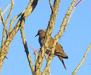 And right beneath the woodpecker, in the same tree, was a white-winged dove. -- Photo by Pat Bean