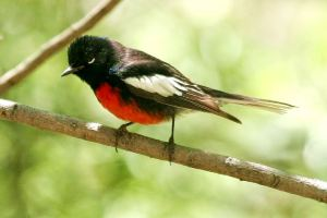 Painted Redstart -- Wikimedia Photo