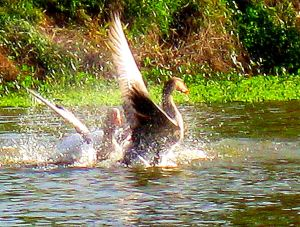 And the geese are playing. -- Photo by Pat Bean