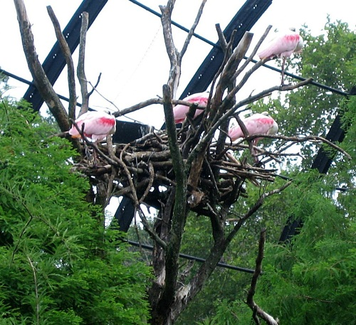 Roseate spoonbill nest. -- Photo by Pat Bean