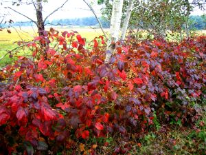 And the color of October in Maine's Scarborough Marsh.  -- Photo by Pat Bean