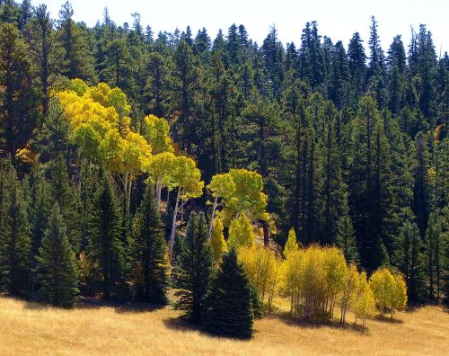 The first aspens I saw were off in the distance, where their golden deliciousness stood out in contrast to the dark evergreens -- Photo by Pat Bean