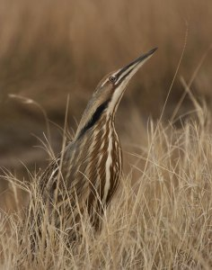 An American bittern in its natural habitat. -- Wikimedia photo
