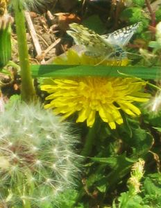 A dandelion in two stages with a butterfly to boot.  -- Photo taken at Rowlett Park near Dallas by Pat Bean