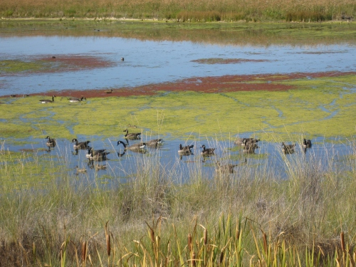 The complexity of nature means when the water level is low here, wading birds are the prominent species. When it's not so shallow, ducks claim it as their habitat. -- Photo by Pat Bean
