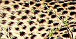 cheeta, abstract 1