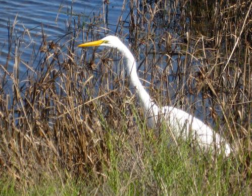 Lake Jackson, where I lived for 15 years and where I still have family, is called the City of Enchantment. Being able to see great egrets -- this one was photographed at the city's Sea Center but you can also see them in drainage ditches all over town -- is enchanting. Don't you think?