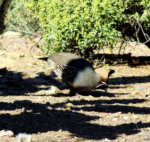 I would rather watch birds, like this Gambel quail, than television -- which is a good thing. -- Pat Bean