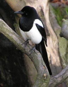 My animal totem, the black-billed magpie. -- Wikimedia photo