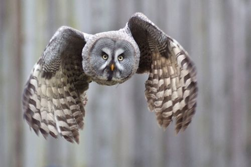 Great gray owl in flight. -- Wikimedia photo, Arne List.