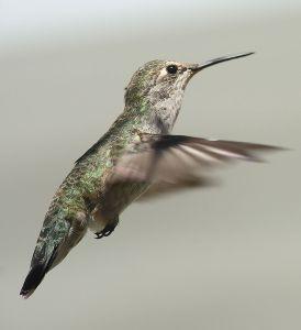Female Anna's hummingbird. -- Wikimedia photo
