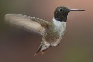 Black-chinned hummingbird -- Wikimedia photo