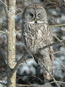 Great gray owl, Ontario, Canada. -- Wikimedia photo