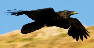 Note the wedge-shaped tail on this raven Also, except for once during breeding season, I've never seen more than one or two ravens together. Crows, on the other hand, most often flock together. -- Wikimedia photo
