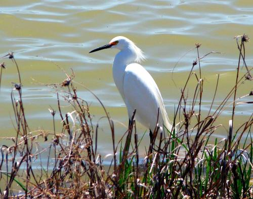 A snowy egret at the Bear River Migratory Bird Refuge in Northern Utah. -- Photo by Pat Bean