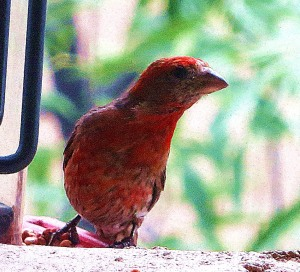 I did get a fairly decent photo of a house finch that was on the bird feeder hung on my balcony. -- Photo by Pat Bean