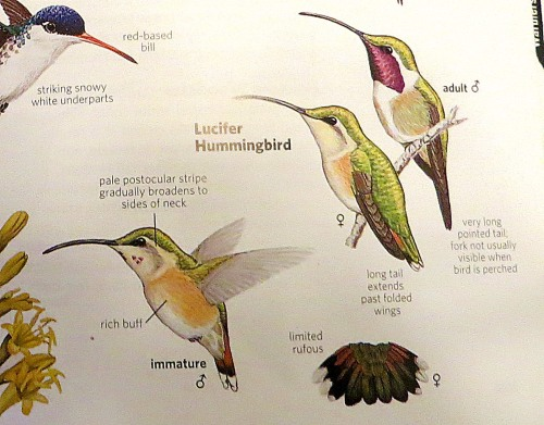 A section of a page from the National Geographic Field Guide to the Birds of North America, whichI used to identify the Lucifer hummingbird. My bird looked exactly like the lower right photo, including the purple specks on the neck. Since I'm a writer and not a photographer, I didn't get a good photo.