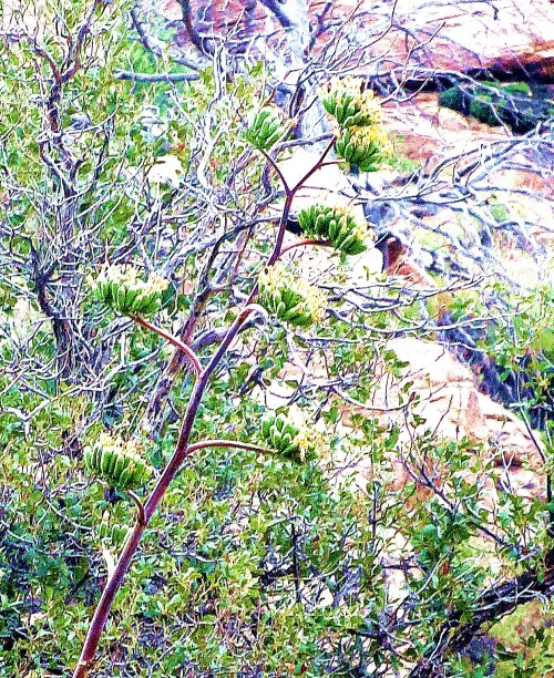 Parry's Agave. It's not a great photo, especial given the background, but I only had this view from below it's high perch. I'm so glad I could finally identify it. -- Photo by Pat Bean