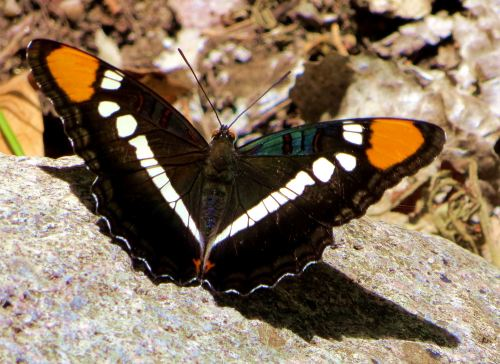 I suggest you stop what you;re doing whent a butterfly is nearby ... and simply enjoy watching it. -- Photo by Pat Bean