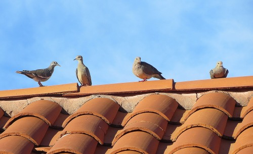 White-winged doves to the left, mourning doves to the right. -- Photo by Pat Bean