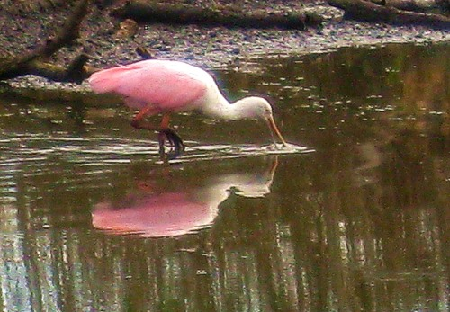 Roseate spoonbill at Brazos Bend National Park